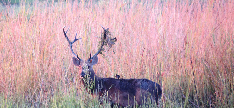 <i>Swamp Deer in breeding season</i>